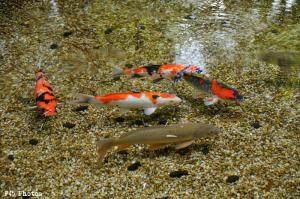 真姿の池の鯉