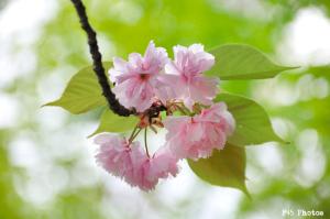 城山の八重桜