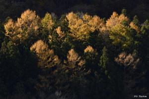 黄金に輝く落葉松