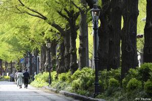 山下公園通りの銀杏並木